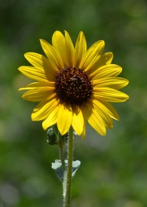 a-single-sunflower-jill-baum